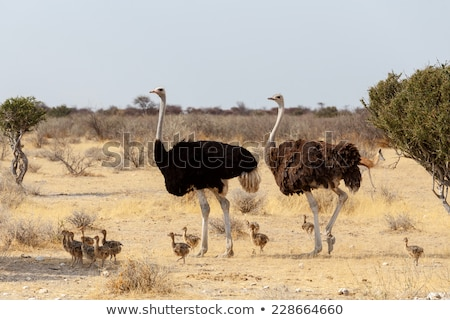 family of ostrich with chickens namibia stock photo © artush