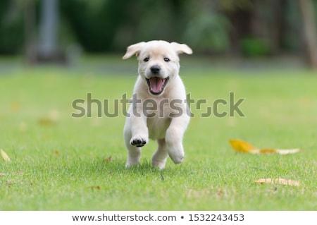 Labrador retriever kutyakölyök piros alma étel baba alma Stock fotó © silense