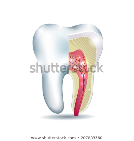 tooth anatomy part of the tooth is cross section detailed anat stock photo © tefi