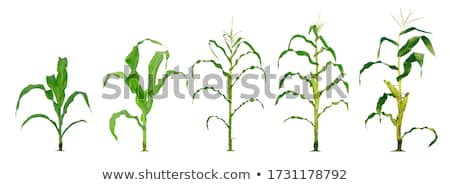Maíz plantas creciente cultivado agrícola campo Foto stock © stevanovicigor
