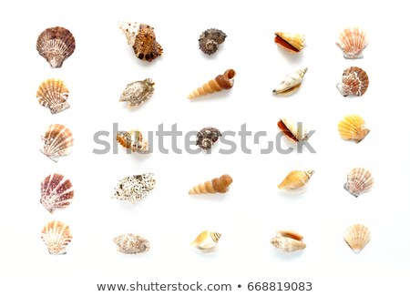 sea shells in a row Stock photo © lunamarina
