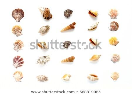 sea shells in a row stock photo © lunamarina