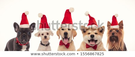team of five adorable dogs wearing santa costumes and bowtie Stock photo © feedough