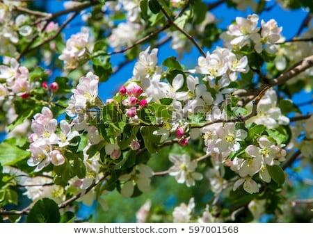 Beyaz mavi elma ağacı çiçekler bahar ahşap Stok fotoğraf © dashapetrenko