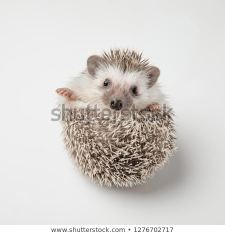 adorable grey hedgehog with spike rests on back stock photo © feedough