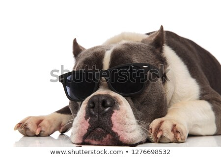 close up of cute american bully with sunglasses resting Stock photo © feedough