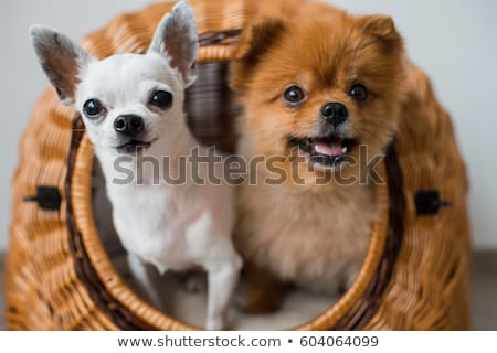 puppy chihuahua and pomeranian Stock photo © cynoclub