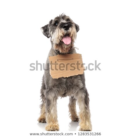 adorable beggar schnauzer looks up to side while panting Stock photo © feedough