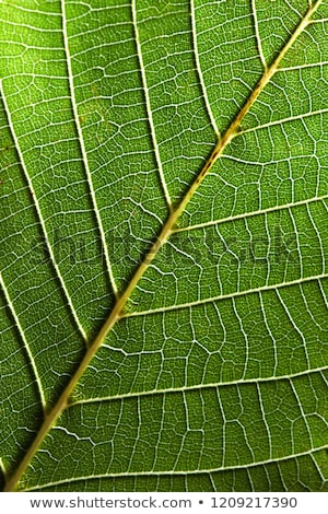 Macro photo of the back side of leaf with veins. Leafy natural pattern in a color of the year 2019 L Stock photo © artjazz