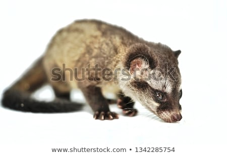 Asian palm civet fur Stock photo © boggy