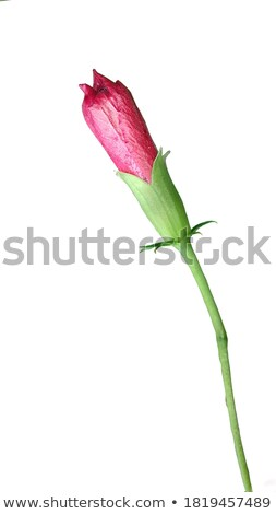 Schets lentebloemen tulpen geïsoleerd witte hand Stockfoto © Arkadivna