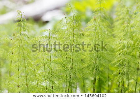 Wood Horsetail Equisetum Sylvaticum Stok fotoğraf © haraldmuc
