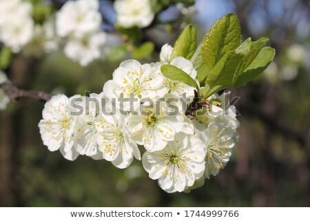 plum tree flowers stock photo © smithore