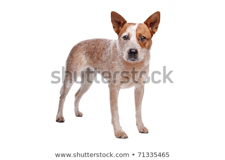 Australisch vee hond Rood jas witte Stockfoto © eriklam