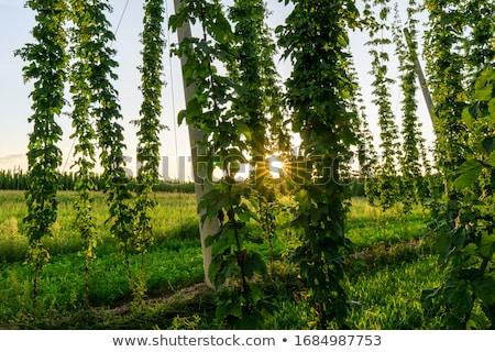 Verde verão fresco natureza folha Foto stock © yoshiyayo