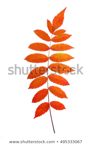 Colorful Red Sumac Leaf Isolated Stock photo © gabes1976