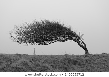 Lone leaning tree Stock photo © MiroNovak