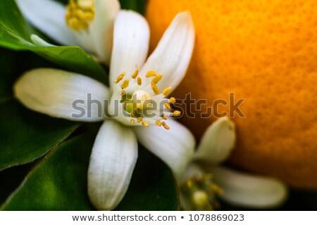 Narancsfa virágok tavasz Spanyolország természet levél Stock fotó © lunamarina