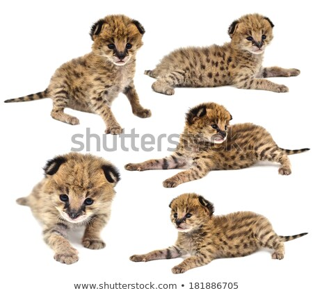 collection of baby serval isolated stock photo © anan