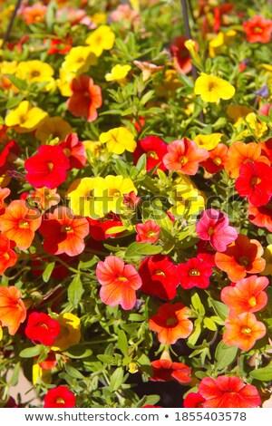 Daisy · цветок · взрослый · пустыне · воды · весны - Сток-фото © meinzahn