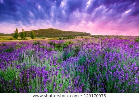Campo de lavanda Hungria céu pôr do sol natureza paisagem Foto stock © Fesus