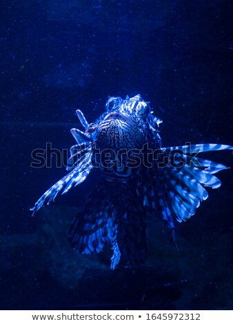 Exótico peixe escorpião natureza Foto stock © kirpad
