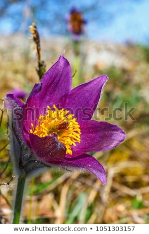 Group of purple pasque flowers on meadow Stock photo © slunicko