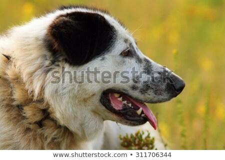 Foto stock: Retrato · romeno · pastor · cão · ovelha · fazenda
