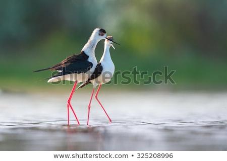 Fekete szem madár toll lábak piros Stock fotó © chris2766