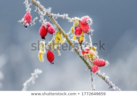 A branch of red wild rose hips blurred background  Stock photo © Fesus
