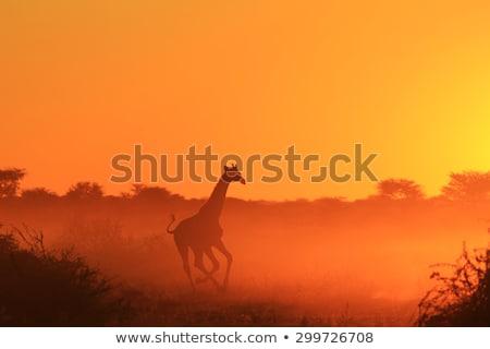 girafa · africano · paisagem · árvore · pôr · do · sol · natureza - foto stock © adrenalina