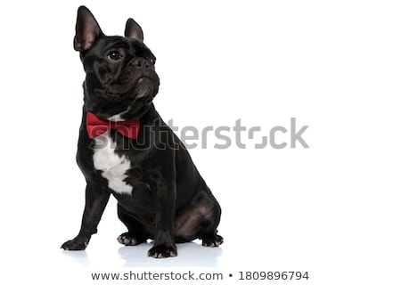 French Bulldog  in a bow tie Stock photo © OleksandrO