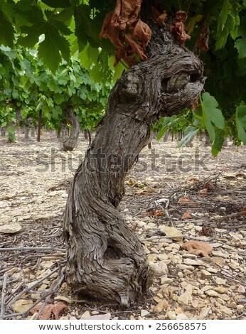 Oude wijnstok boom stengel wijngaard hout Stockfoto © meinzahn