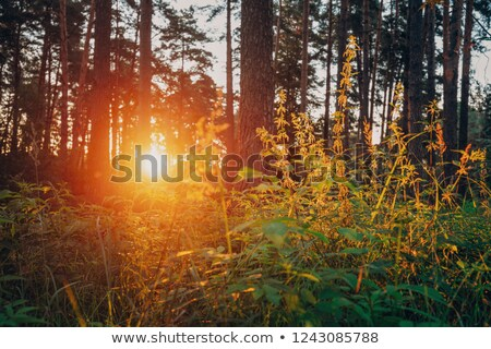 beautiful sunset through the wild nettles Stock photo © morrbyte