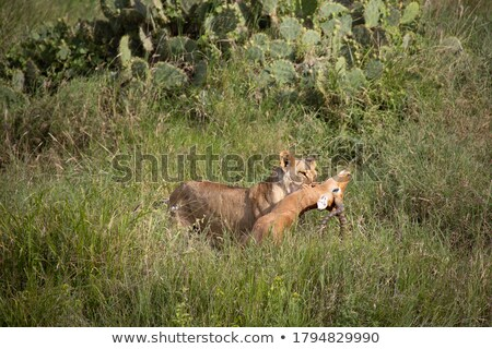 Lioness with prey Stock photo © EcoPic