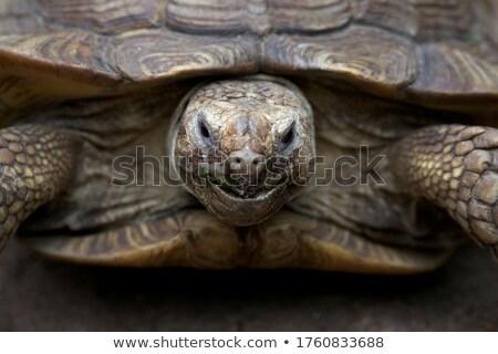 Nagy teknős portré közelkép háttér fekete Stock fotó © Mikko