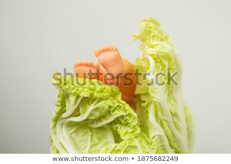 Emerging Cabbage stock photo © naffarts