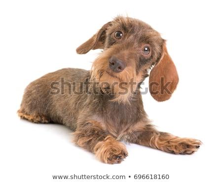 Stockfoto: Teckel · witte · hond · studio · draad · puppy