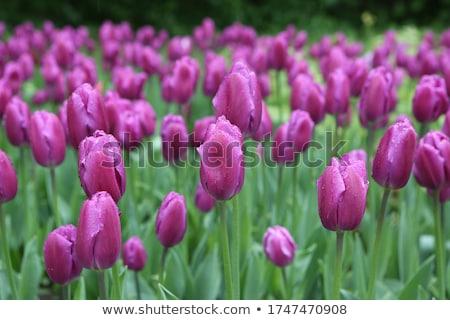 lila · tulipánok · zöld · park · virágágy · virágok - stock fotó © vapi
