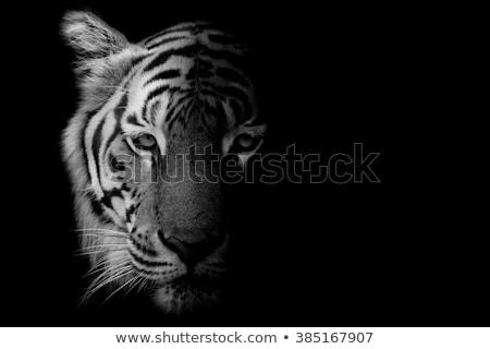 Siberian White Tiger Stock photo © lenm