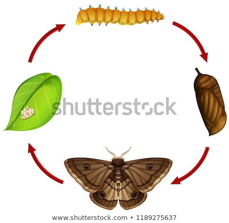 Moth life cycle concept Stock photo © bluering