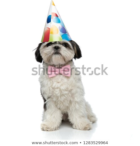 birthday shih tzu wearing pink bowtie sitting Stock photo © feedough