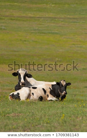 two cows resting on green meadow Stock photo © Mikko
