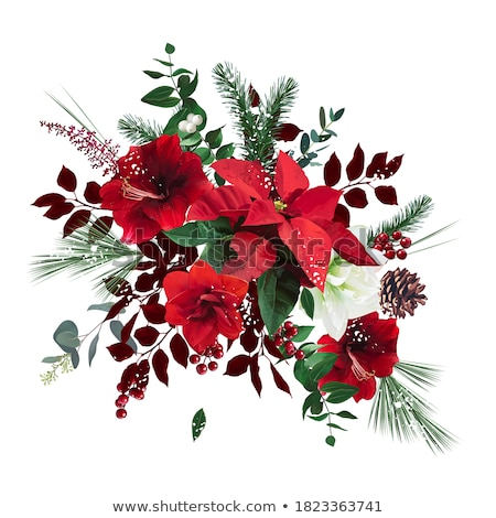 Spruce Branches and White Mistletoe Red Poinsettia Stock photo © robuart