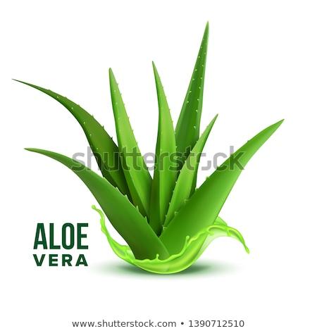 Realistisch Laub grünen Anlage Aloe Vektor Stock foto © pikepicture