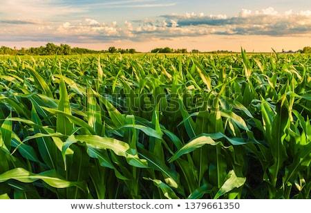 Kukorica mező ültetvény napos idő kék ég égbolt Stock fotó © szefei