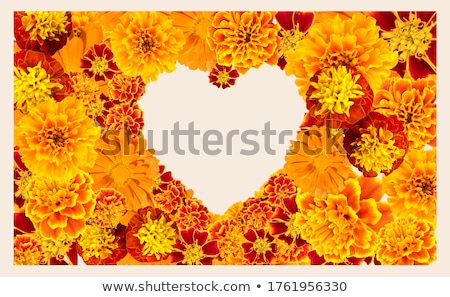 Heart shape orange cosmos flowers  Stock photo © szefei