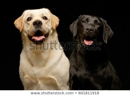 Stúdiófelvétel kettő imádnivaló labrador retriever ül fekete Stock fotó © vauvau