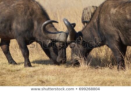 Fighting African Buffalo Stock photo © fouroaks