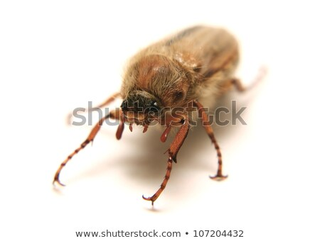 European june beetle Stock photo © Arrxxx